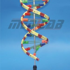 DNA Helical Type Model