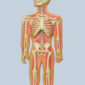 Skeletal System Model Bones (Human Skeletal System)