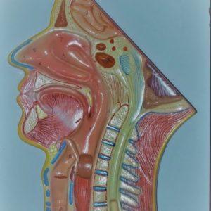 Human Nose Model