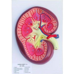 Human Kidney L.S. Model