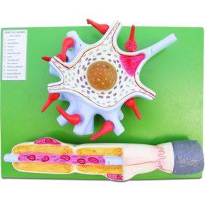 Nerve Cell / Neuron Model