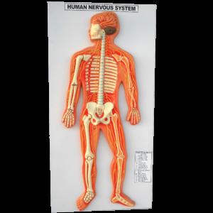 Human Nervous System Model