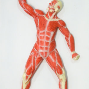 Human Muscle Structure Model