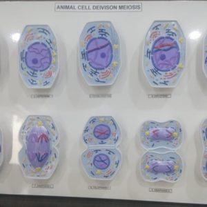 Animal Cell Division, Meiosis