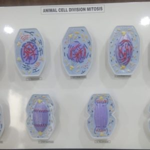 Animal cell Division, Mitosis