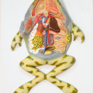 Frog Dissection Model