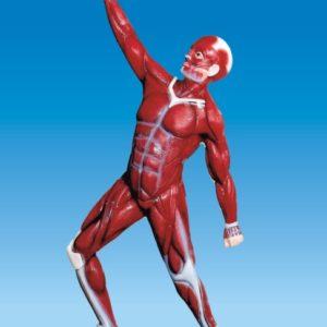 Human Muscular System Model