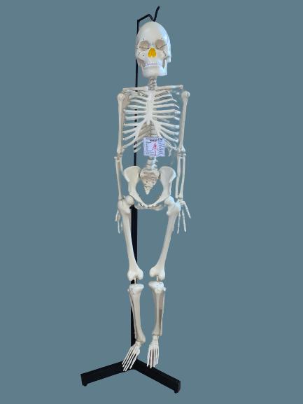Human_Skeleton (Regular)